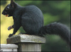 _41079230_blacksquirrel203